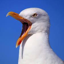 别的简报|英国一男子因海鸥争抢他的麦当劳而震怒,咬了海鸥一口而被警察逮捕