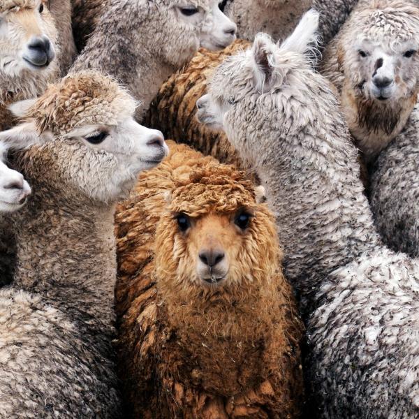别的简报|羊驼或许能帮我们对抗新冠病毒