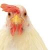 疯狂的母鸡