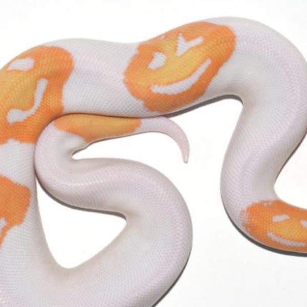 别的简报|养蛇人意外培育出长着诡异笑脸的白色蟒蛇